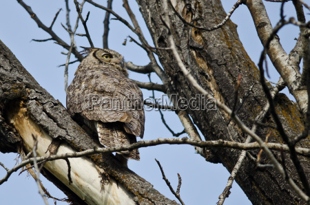 braun braeunlich bruenett greifvogel raubvogel braune
