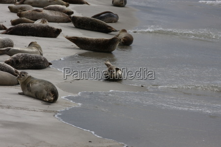 Düne, Helgoland, Kegelrobben, Robben, Säugetier, Wasser - 14559773