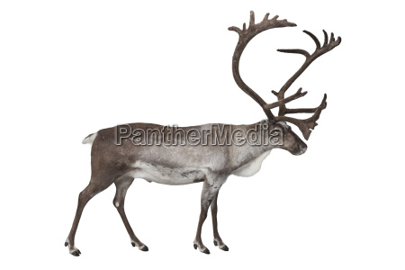 reindeer isolated on white