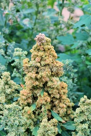 quinoa waechst in den landwirtschaftlichen kulturpflanzen