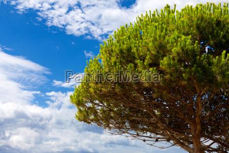 grosser piniebaum vor blauem himmel