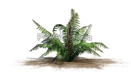 farn pflanze auf weissem hintergrund