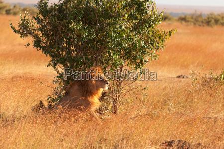 maennliche loewen in masai mara maennlichen