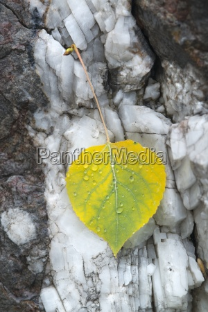 a small aspen leaf yellow and