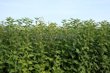 jerusalem artichoke plants