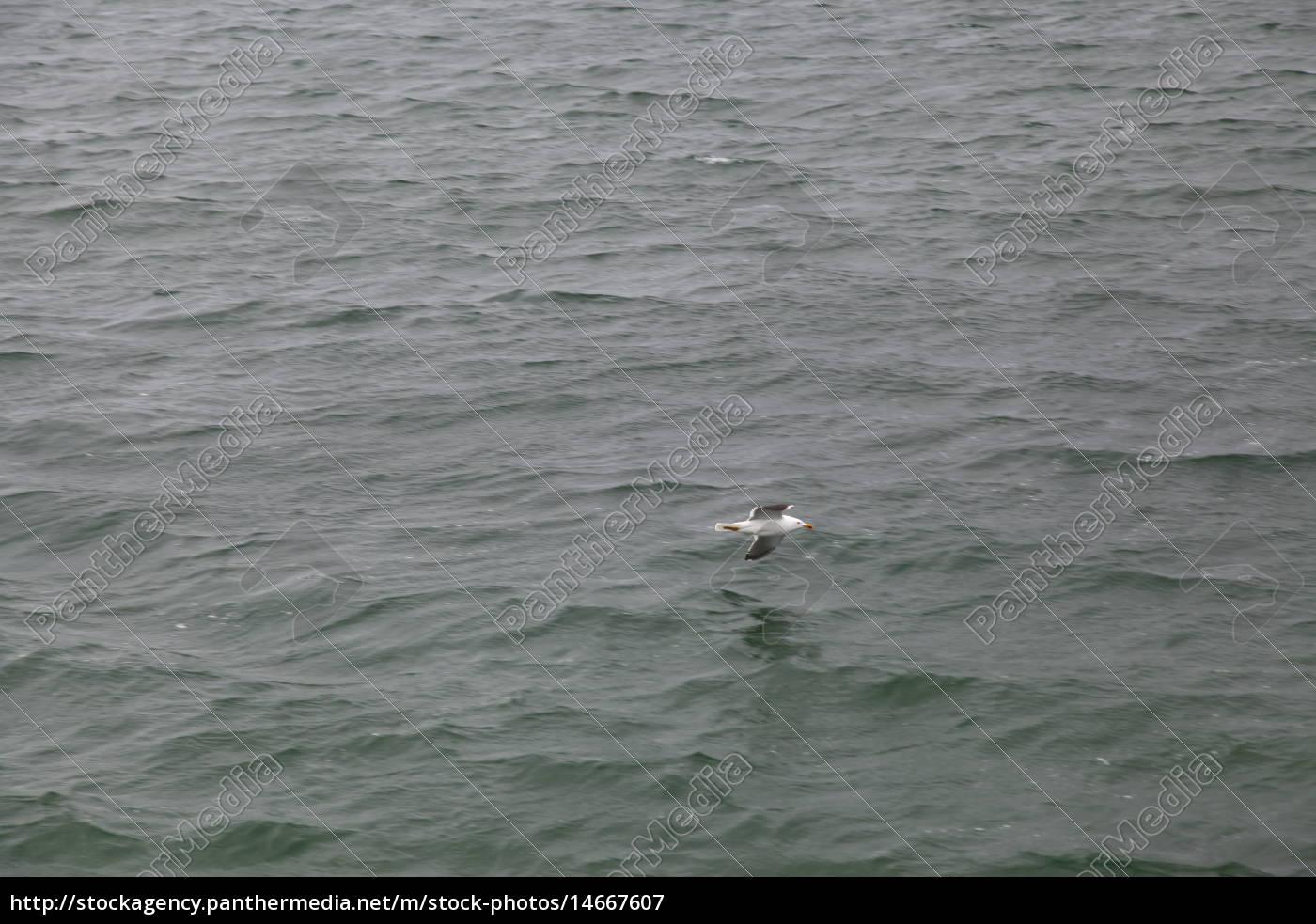 Helgoland, Möwe, Vogel, Wasser, Nordsee, Tier - 14667607