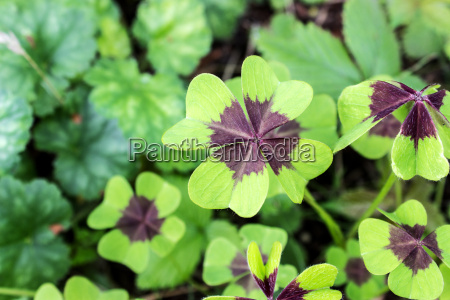 four bladed leaf clover in the