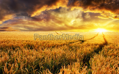 sunset on field focus on foreground