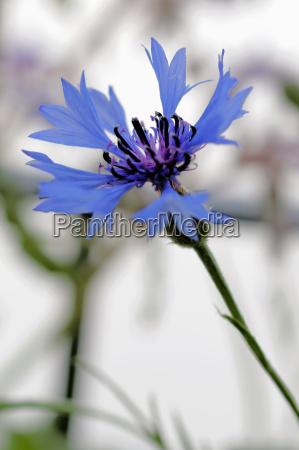 kornblume centaurea cyans