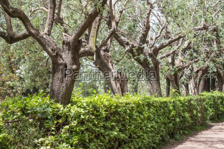 ancient olive trees on the palatine