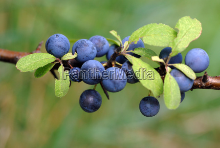 schlehdorn prunus spinosa