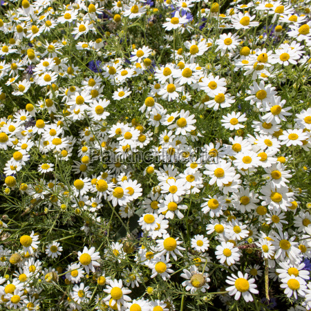 chamomile flowers in a meadow