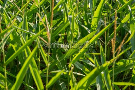 cornfield detail