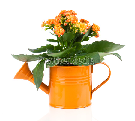 kalanchoe flower in watering can on