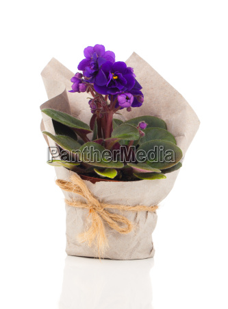 blue saintpaulia gesneriaceae flowers in paper