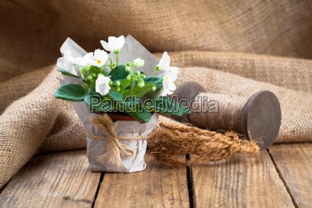 saintpaulia gesneriaceae flowers in paper packagingon