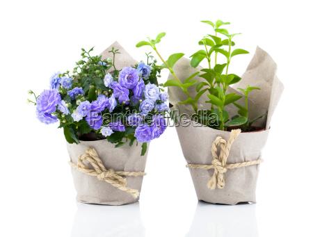 glockenblumen campanula blueten in papierverpackung auf