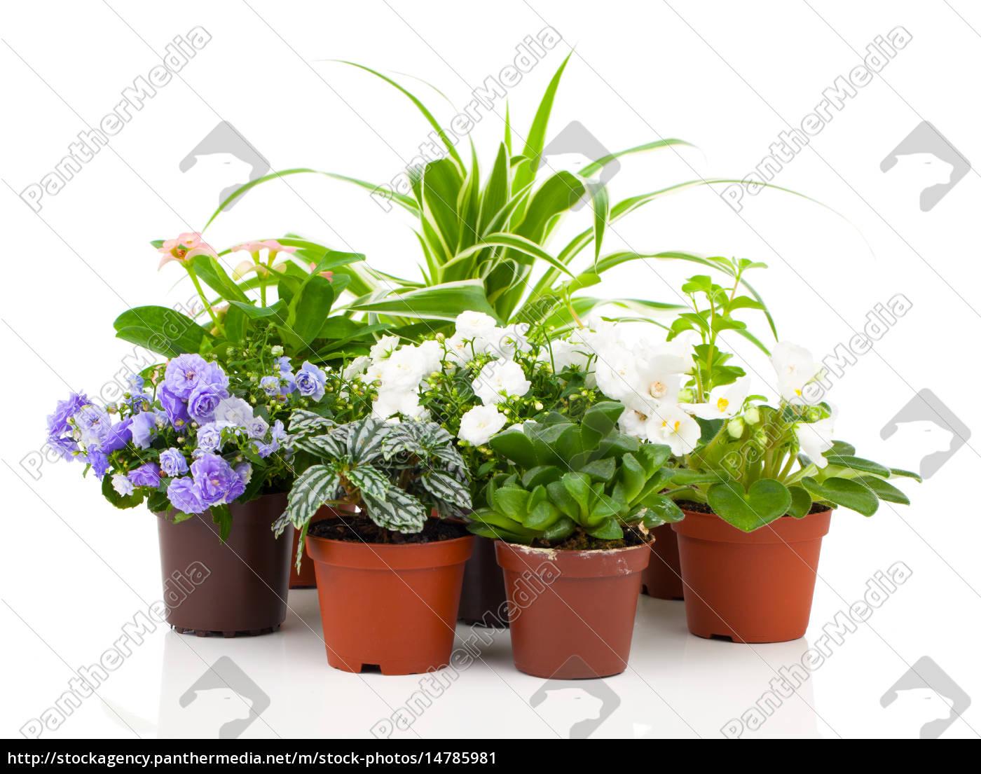jungpflanzen, in, blumentopf, -, glockenblumen, , saintpaulia, - 14785981