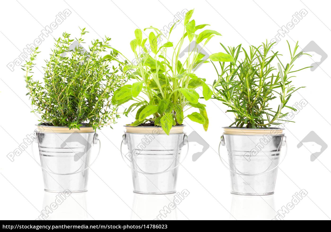 Salbei Thymian Und Rosmarin Kraut Pflanzen Wachsen In