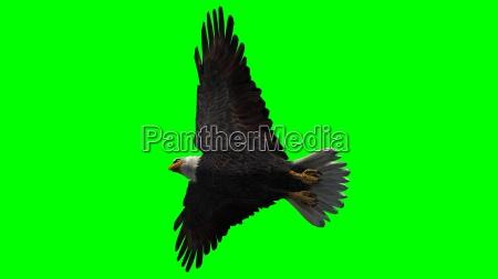 weisskopfseeadler im flug isoliert auf green