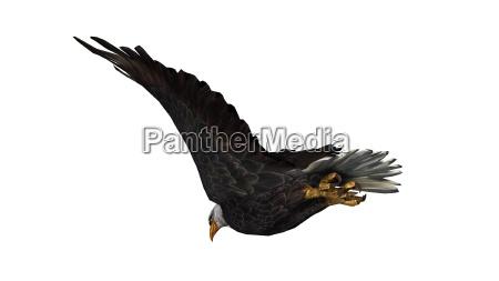weisskopfseeadler im flug isoliert auf weissem