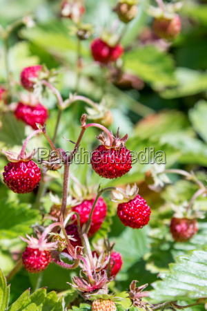 ripe red wild strawberries on the