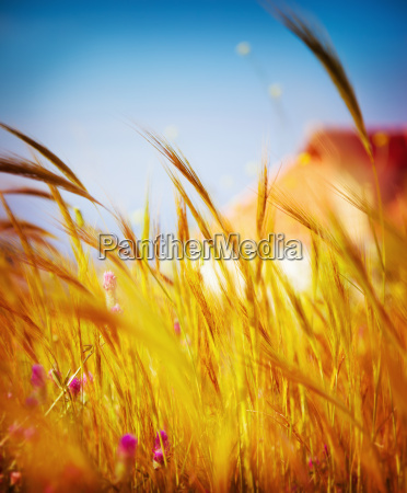 autumn wheat field background