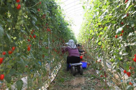 arbeiter ernten tomaten im bio gewaechshaus