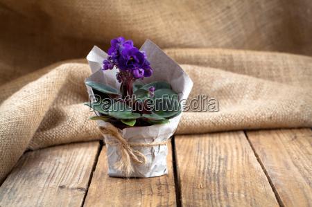 blue saintpaulia gesneriaceae flowers on sackclothon