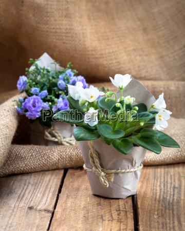 blue saintpaulia gesneriaceae and bellflowers campanula