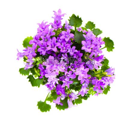 beautiful spring flower bush dalmatian bellflower