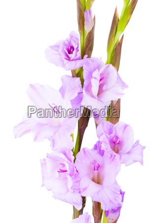 gladioli iridaceae on a white background
