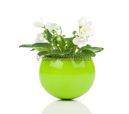 saintpaulia flower
