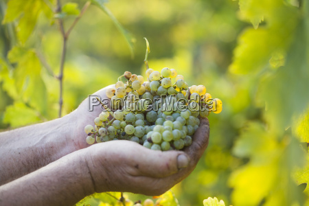 farmers haende die geernteten trauben