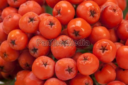 roten fruechten der eberesche hautnah