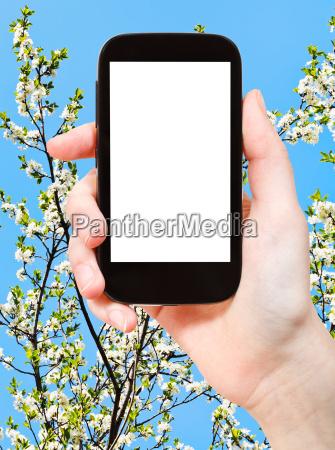 smartphone and white cherry tree flowers