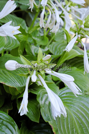 funkie heart leaf lily hosta cultiva