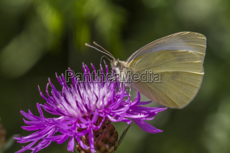 small cabbage white pieris rapae