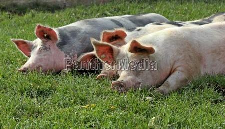 drei schlafende weideschweine