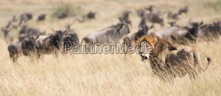 tier saeugetier afrika kenia savanne maennlich