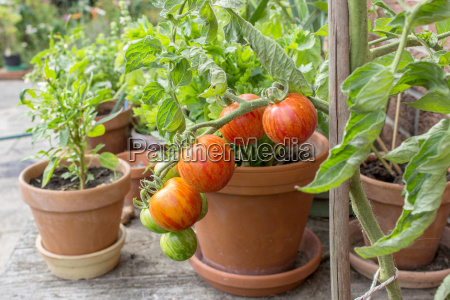 tomato plant with green and red