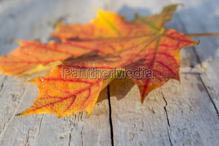 red maple leaf on a wooden