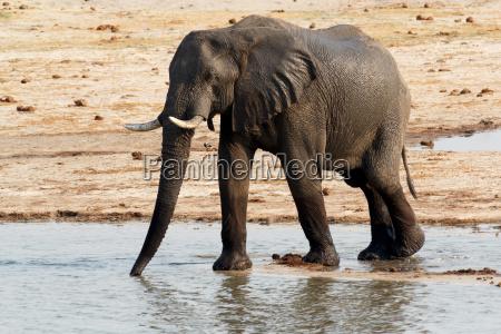 afrikanische elefanten an einem schlammigen wasserloch