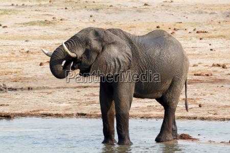 afrikanische elefanten trinken an einem wasserloch