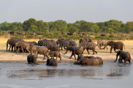 herde der afrikanischen elefanten an einem