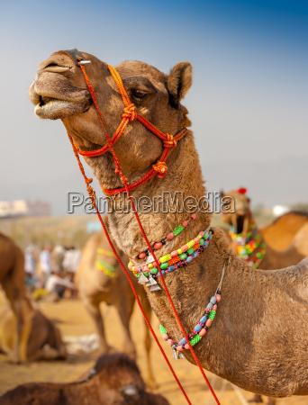 dekoriert kamel auf der messe pushkar