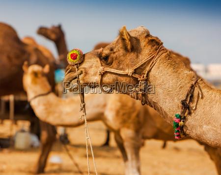 verzierten kamel auf der pushkar fair