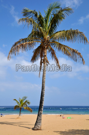 palm tree on beach at tenerife