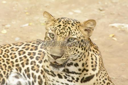 leopard oder panther