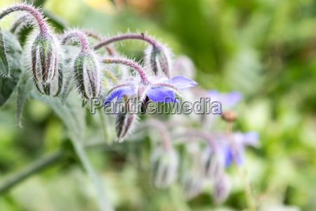 blue flowers of borage